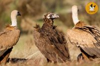 black-vulture-and-griffon